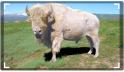 Sacred White Bufalo...