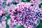 hero-lilac-meanings-720x480