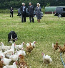 article-2353697-1A9F914E000005DC-635_634x662 Dot the border collie rounds up chickens while the Prince of Wales and The Duchess of Cornwall visit the Rhug Estate farm shop