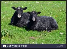 Baa Baa Black Sheep...