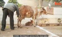 Indians from India drink cow piss